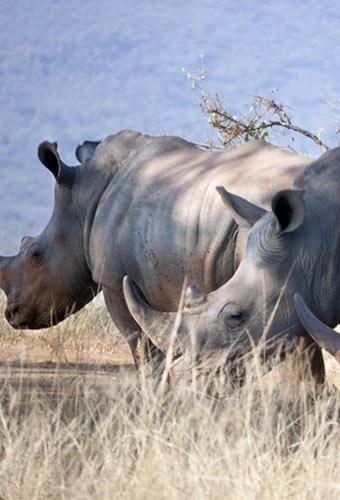 rhinocéros à johannesburg