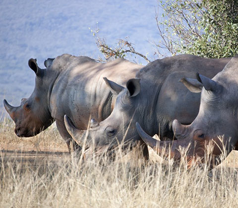 rhinocéros à johannesburg en afrique du sud