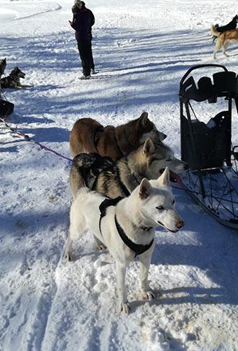 chiens de traîneaux à La Clusaz