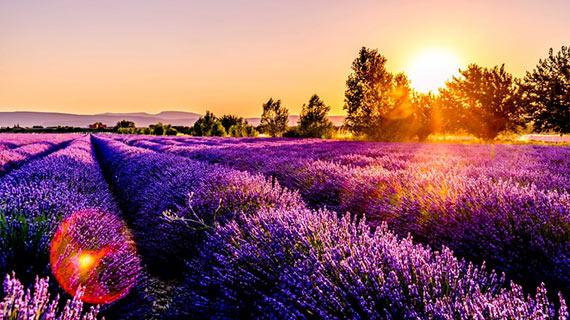 champs de lavande dans la sud de la France